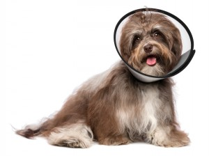 Injured Havanese