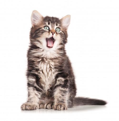 Kitten Insurance