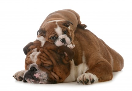 Adult Bulldog and Puppy