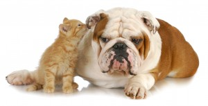 cat and dog - cute kitten whispering into english bulldogs ear o