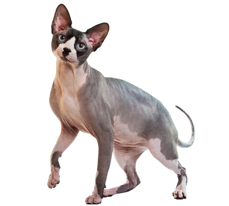 Sphynx Pet Insurance: Compare 2016's Best Plans and