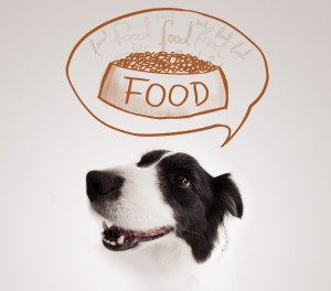 Cute black and white border collie thinking about a bowl of food
