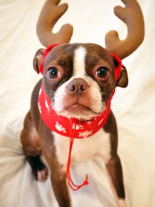 Bean isn't too fond of being a reindeer, but it sure is cute!
