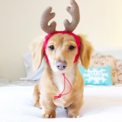 This is Gracie, our little reindeer!
