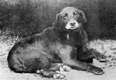 Buccleuch Avon 1885 - Early Labrador Retiriever