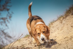 Beagle Dog Walking On The Beach