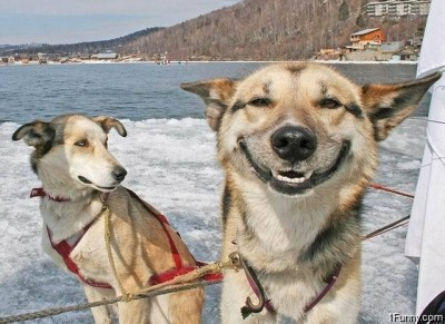 Smiling Sled Dog
