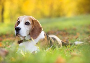 Beagle in grass
