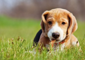 Beagle puppy playing in green grass