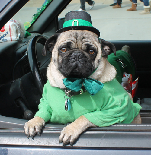 Pug Irish Costume
